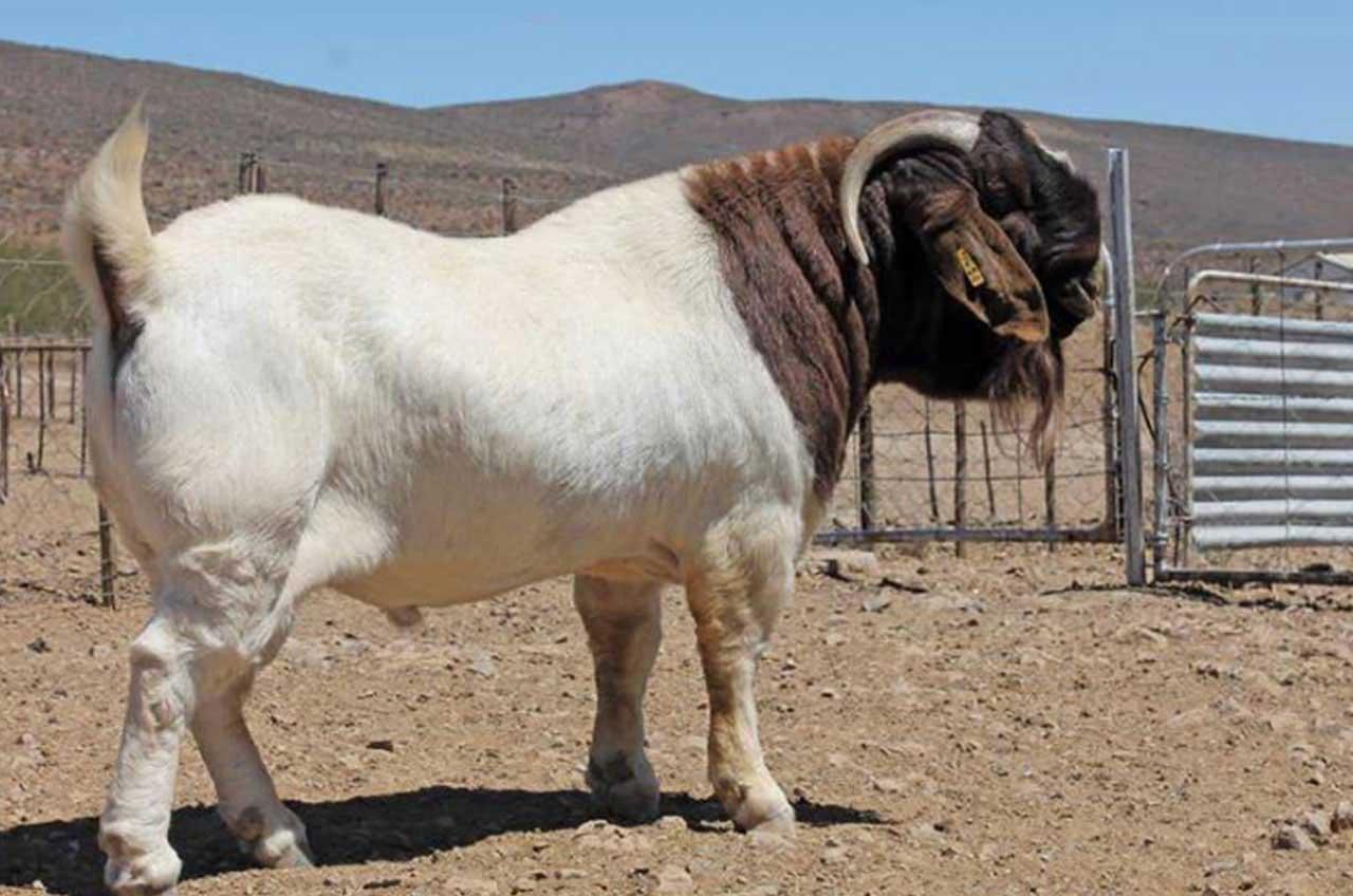 Nimbkar Boer Goat Farm